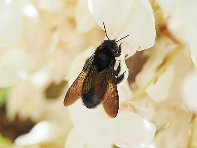 クマバチの画像 p1_18